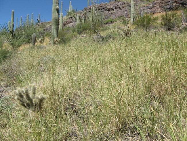 Saguaro5.jpg