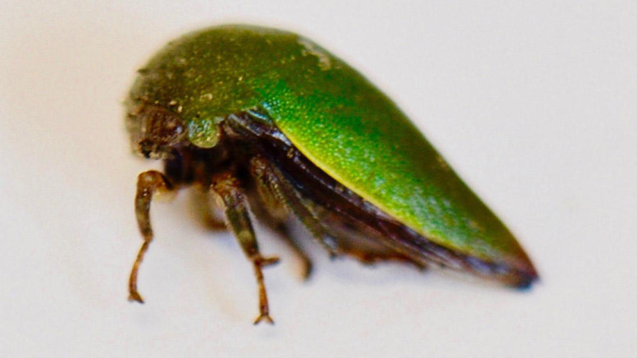 Hebetica sylviae