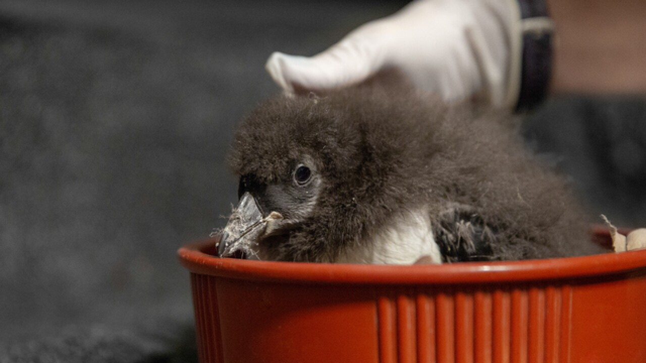 Puffin chick trio born at National Aquarium