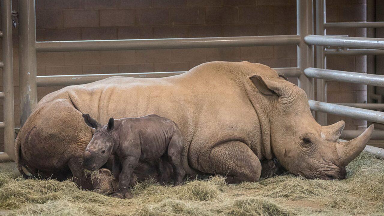 san diego zoo rhino calf born_3.jpg