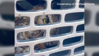 owl3web.jpeg