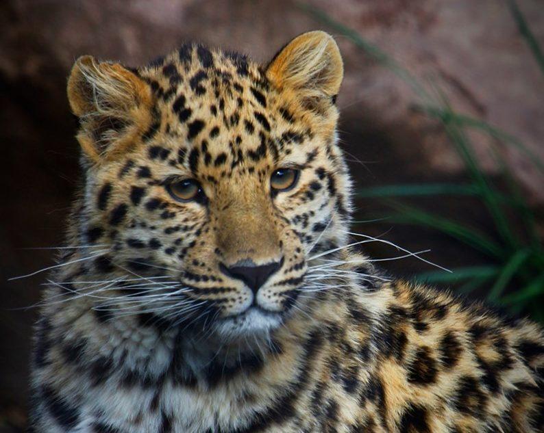 Photos: Hogle Zoo's Amur leopard celebrates firstbirthday
