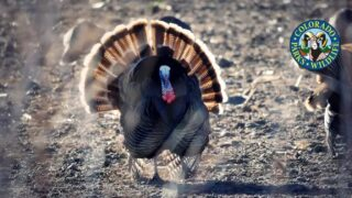 Apply for chance at fall archery turkey hunt at US Air Force Academy