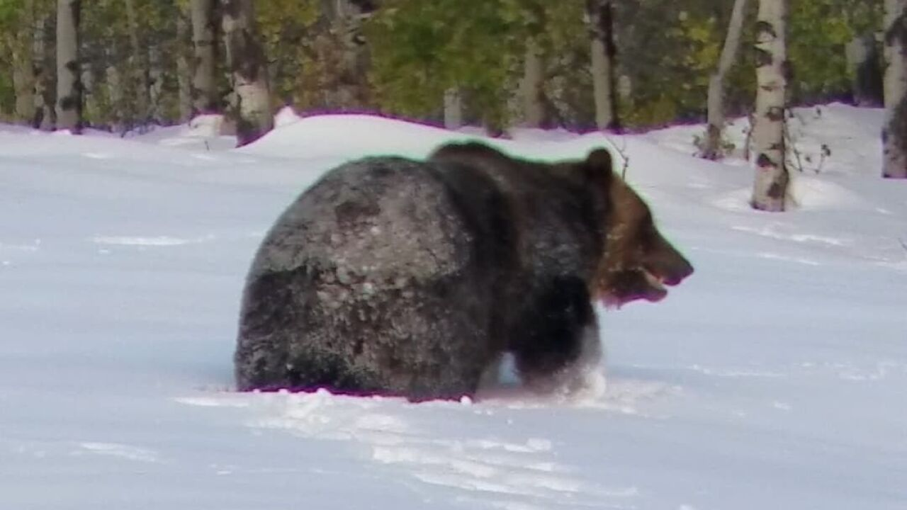 Big grizzly bear near Babb