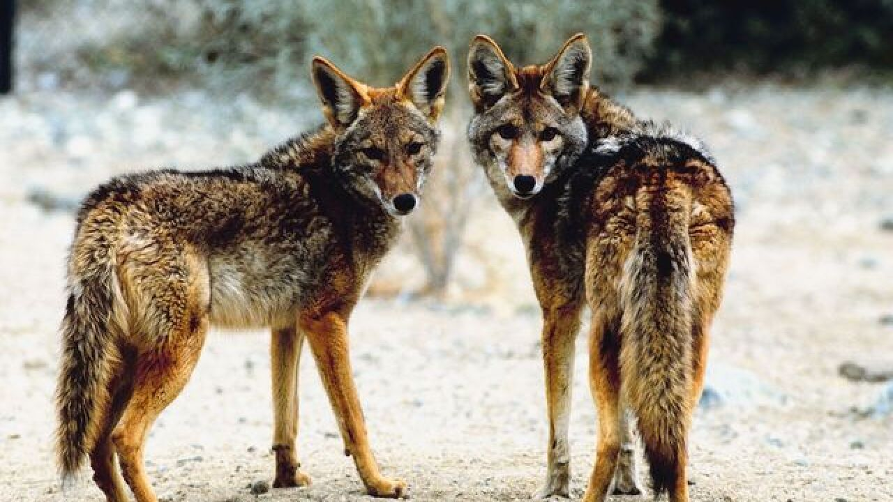 Coyote hunting contest draws criticism