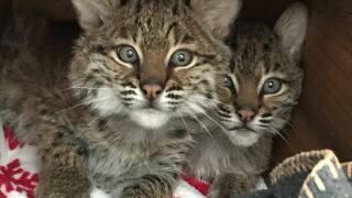 Bobcat kittens.jpg