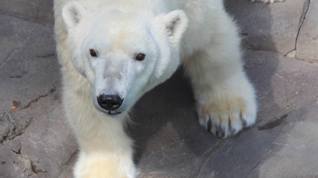 Kansas City Zoo to welcome second polar bear