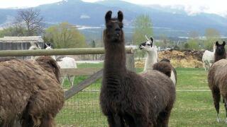 Llama poop is in high demand