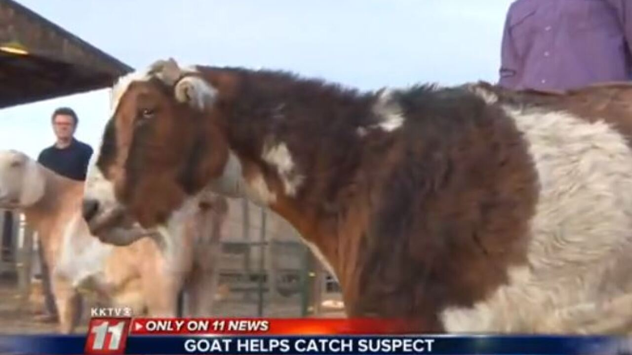 Family goat credited with catching fugitive