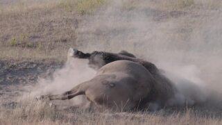 bison dust