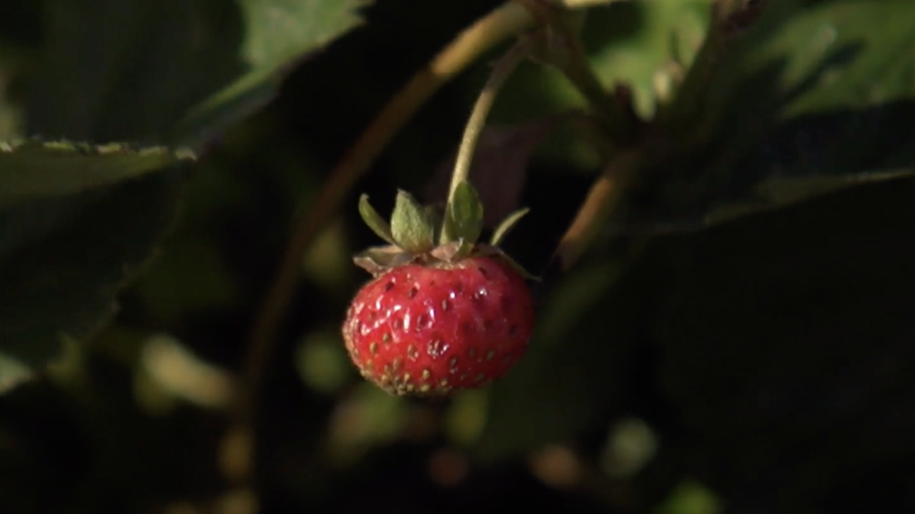 """The robot may be especially helpful for helping organic crops like strawberries. Those strawberries that are grown using traditional farming methods are often labeled as one of the """"dirty dozen"""" crops - because they are often found to have high amounts of pesticides on them."""