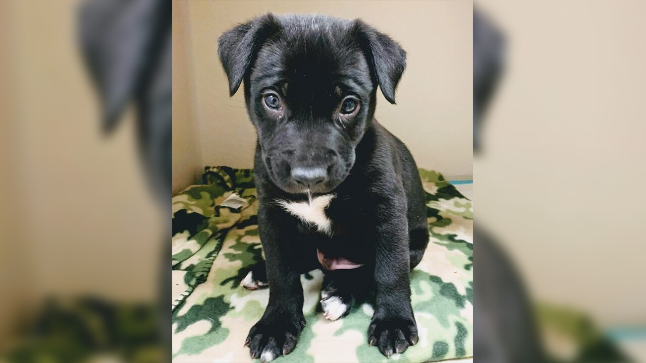 Puppy thrown against car in Colorado now up for adoption