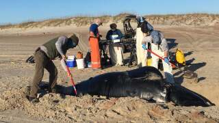 Young whale, considered 'one of the rarest marine mammals,' found dead on beach