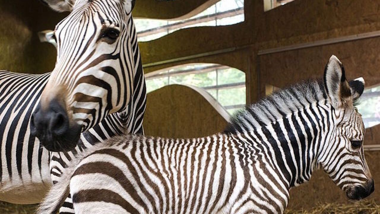 cfc78c2482607 A zoo is accused of painting a donkey and passing it off as a zebra
