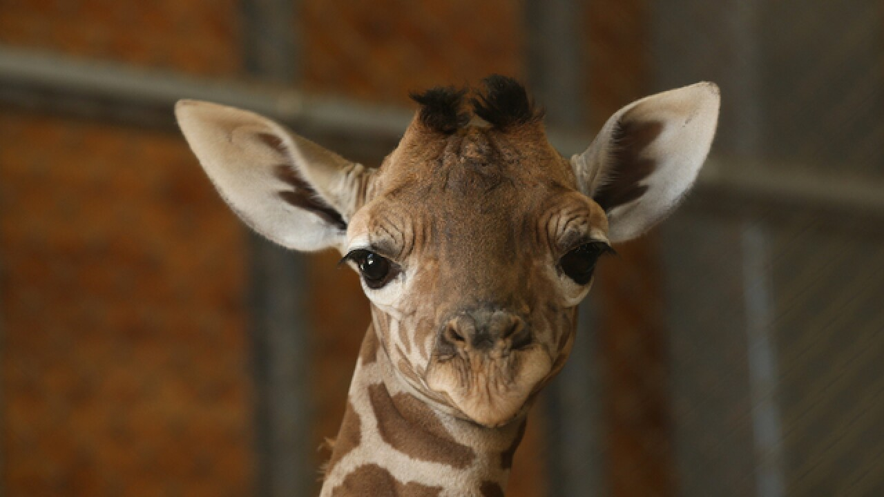 Giraffes, rarer than elephants, put on extinction watch list