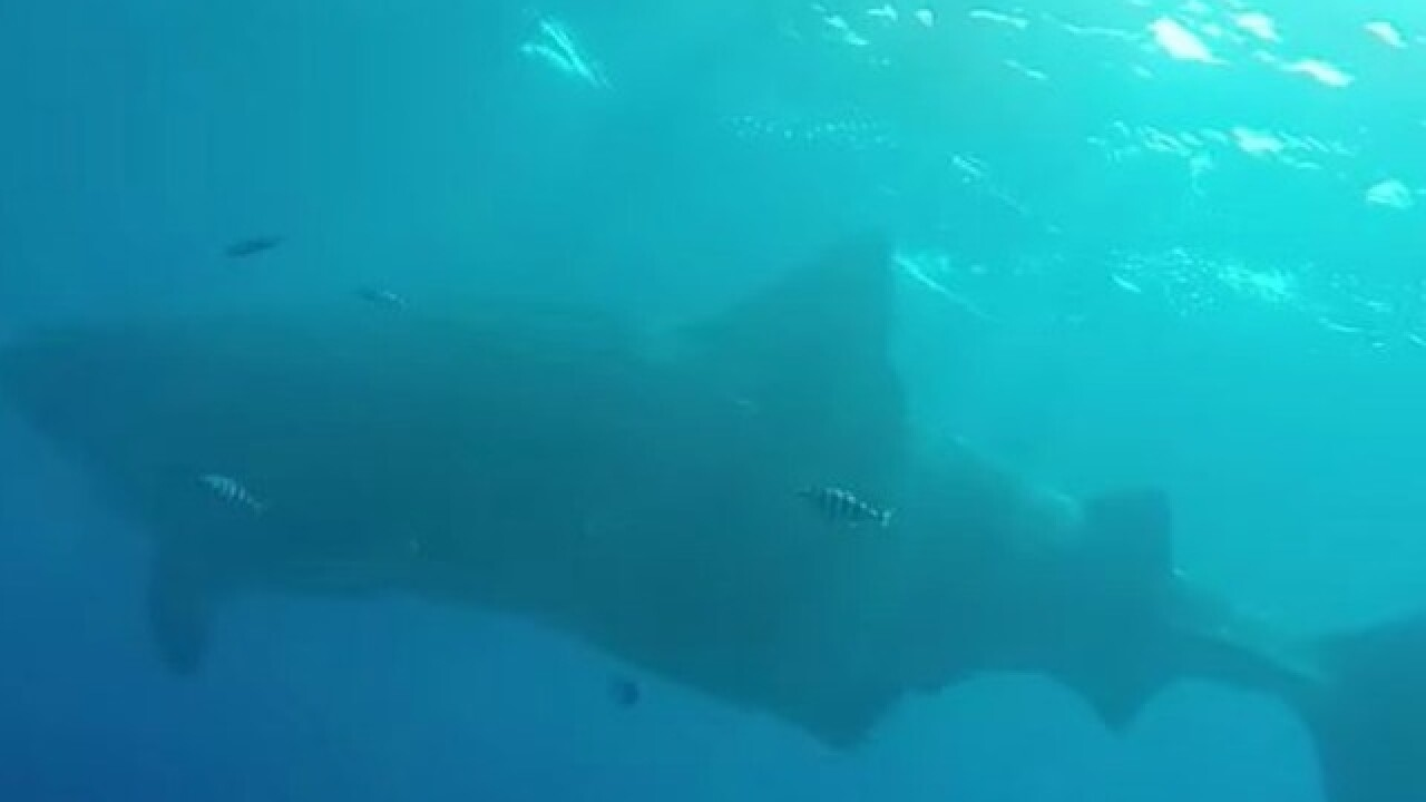 Diver swims with whale shark off San Diego coast