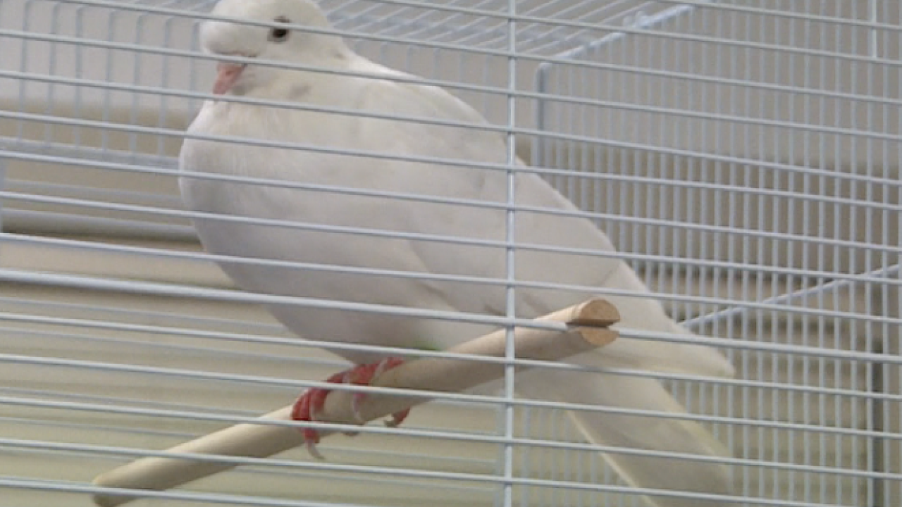 Norfolk shelter helping homing pigeon find its way home