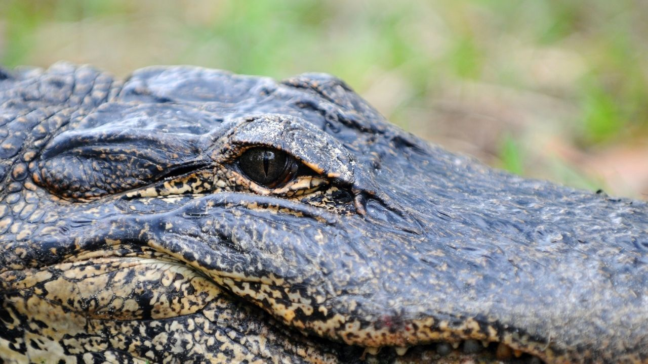 This Florida man steals a gator and tries to throw it onto a roof