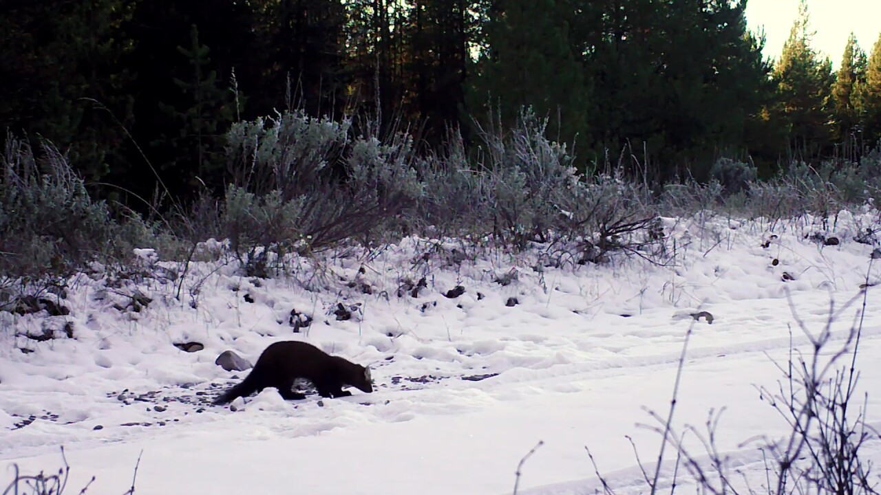 Marten are a member of the weasel family