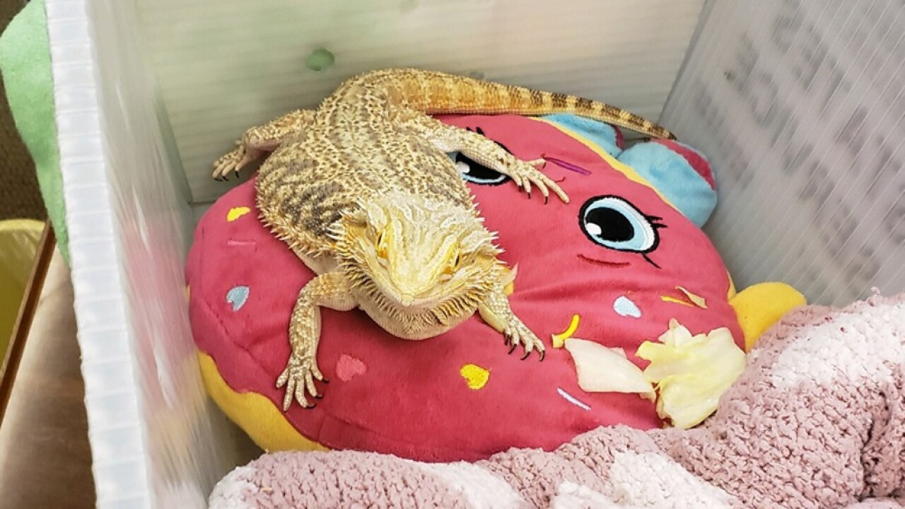 wptv-bearded-lizard.jpg