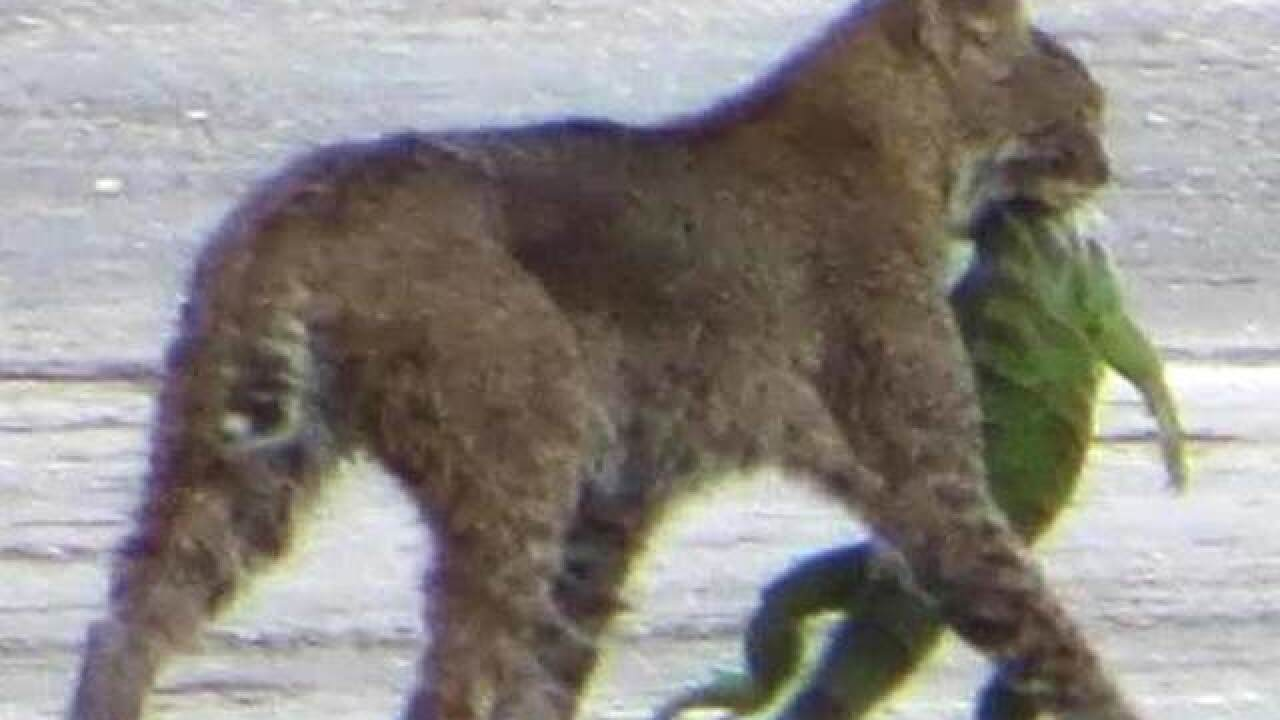 Picture taken of bobcat munching on iguana at Loxahatchee National Wildlife Refuge