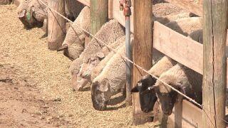 lambs in feedlot.jpg