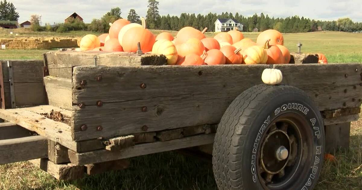 Northwest MT pumpkin harvesting slightly suffers from abrupt cold weather