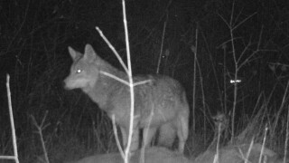 Troy recommends companies for coyote removal
