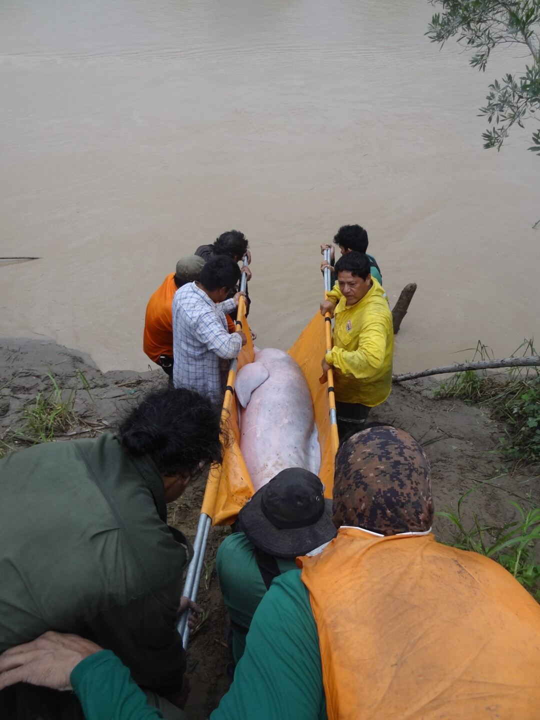 The rescue team releases one of the Bolivian river dolphins - The Maryland Zoo.jpg