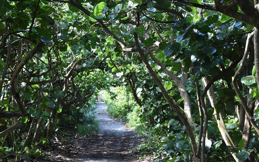 Trees along dirt path on the Sea Grape Tunnel.