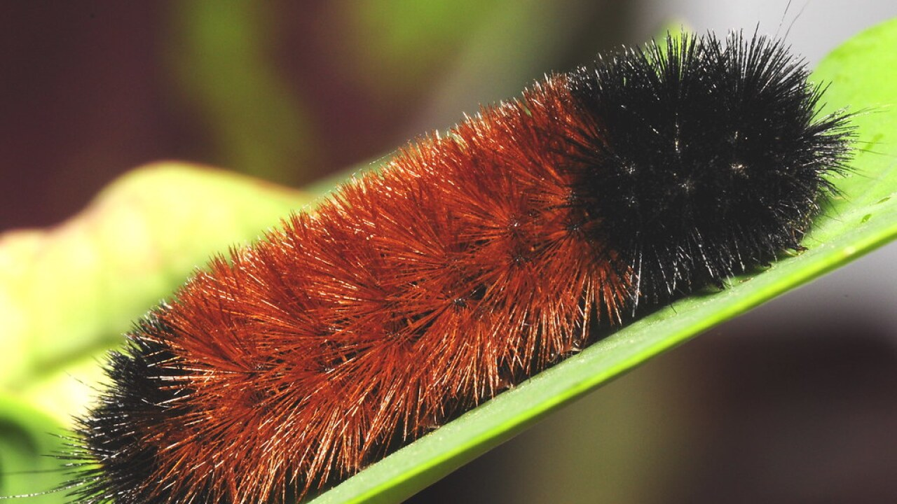 Can a caterpillar predict the winter? Some Wisconsinites say yes