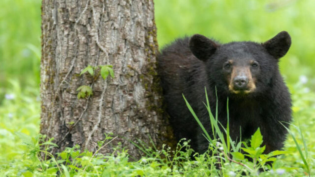 A Young Black Bear Was Found Relaxing On The Counter Of The Women's Restroom At This Lodge