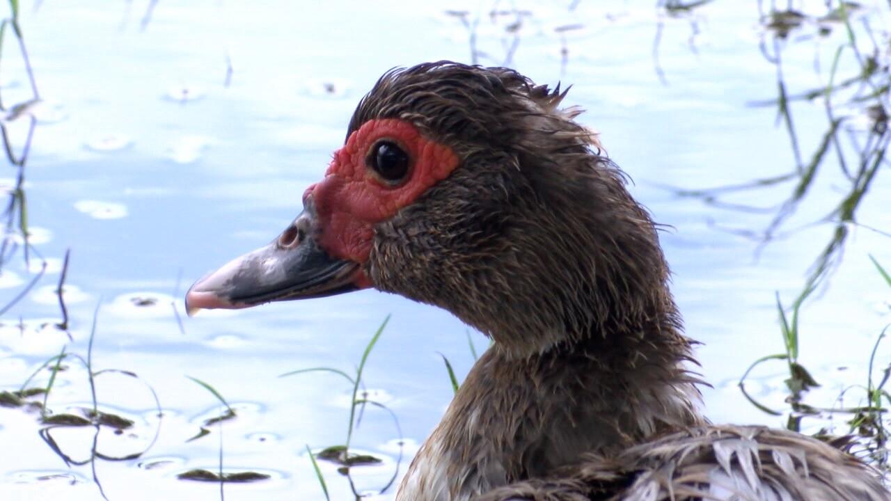 Muscovy duck.jpg