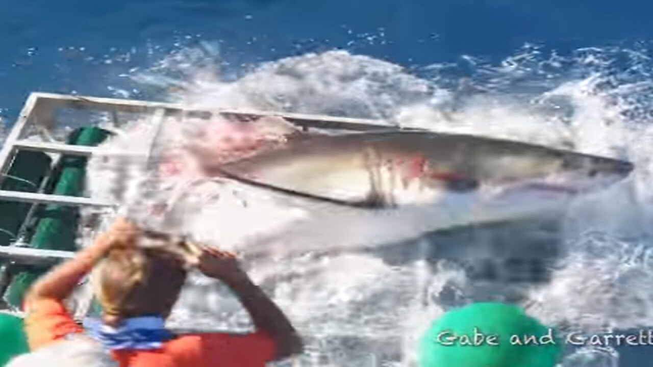 Video shows great white shark breaking into cage with diver inside
