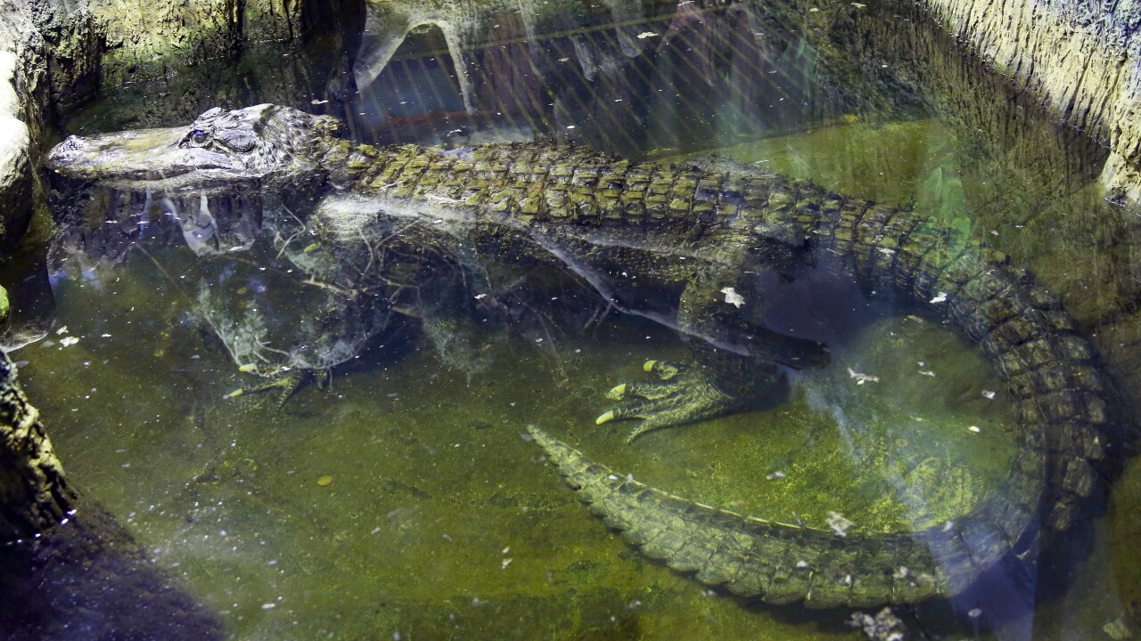 Alligator rumored to have been Hitler's dies in Moscow