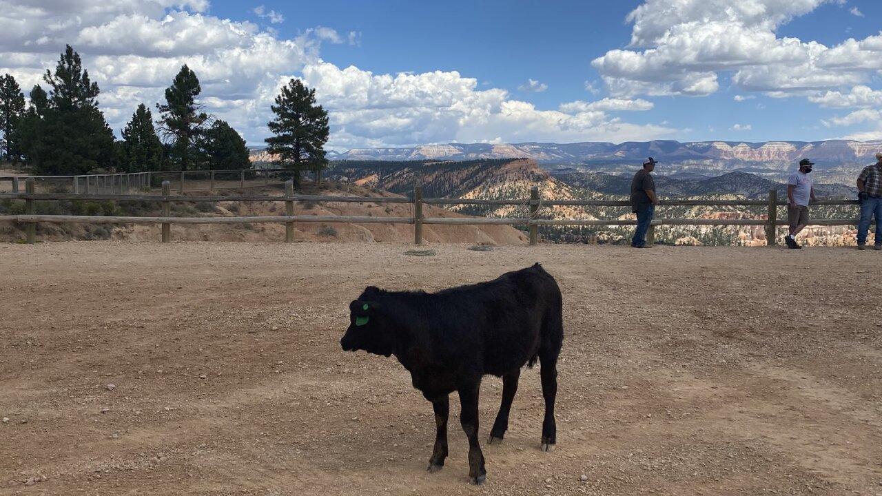 cow4.jfif