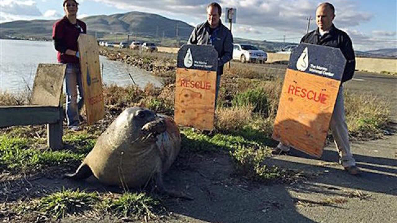 Elephant seal determined to cross Calif. freeway