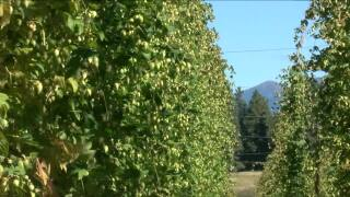 Bigfork farm bringing hops to local breweries