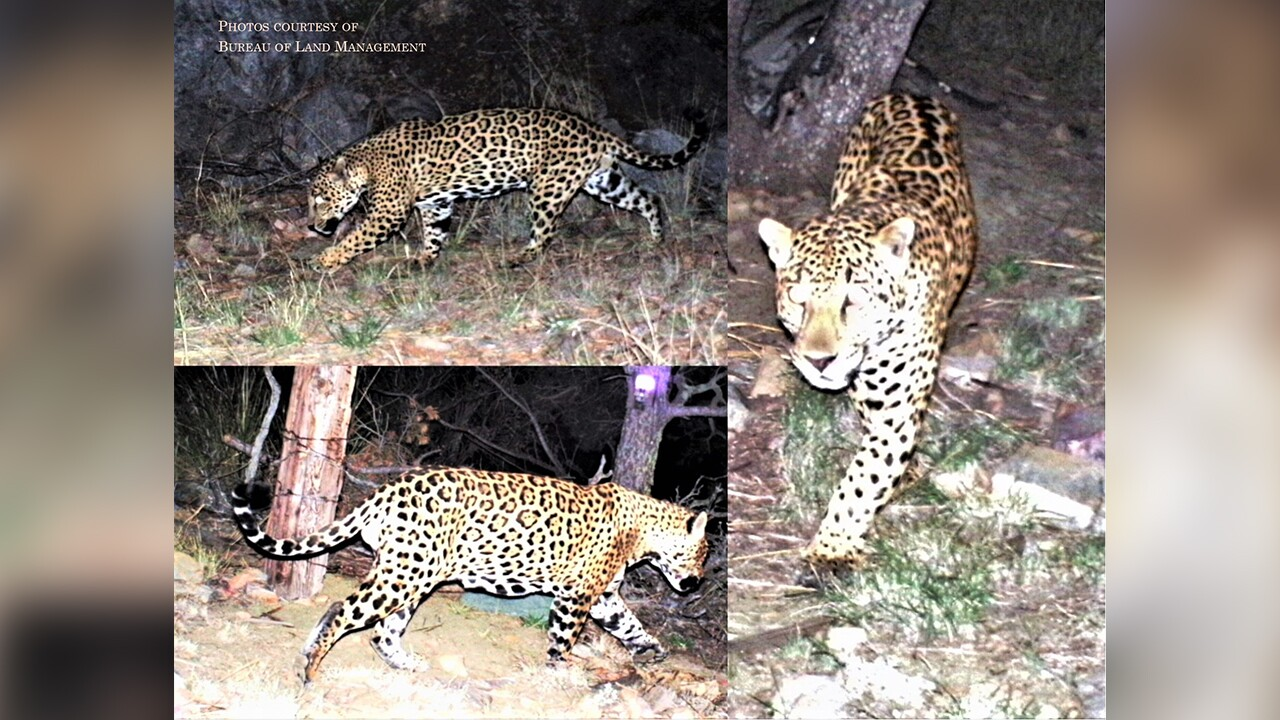 These file photos show a jaguar spotted in southern Arizona mountain ranges