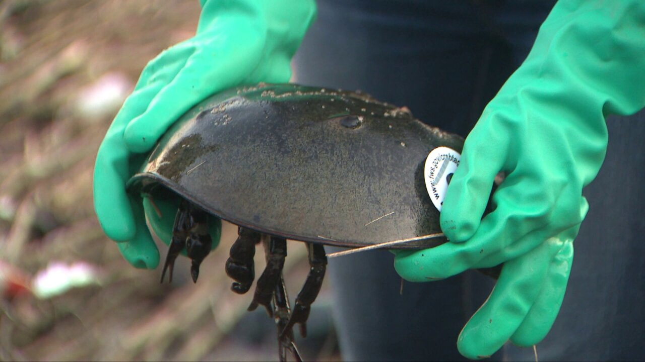 NJ horseshoe crabs play critical role in coronavirus vaccine, but at a cost