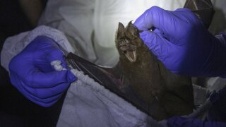 Thai scientists catch bats to trace virus origins