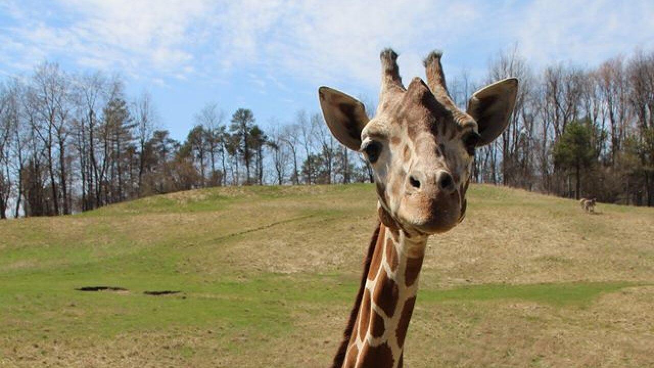 Makena the Giraffe