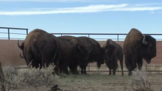 Bison return to Rocky Boy's Reservation