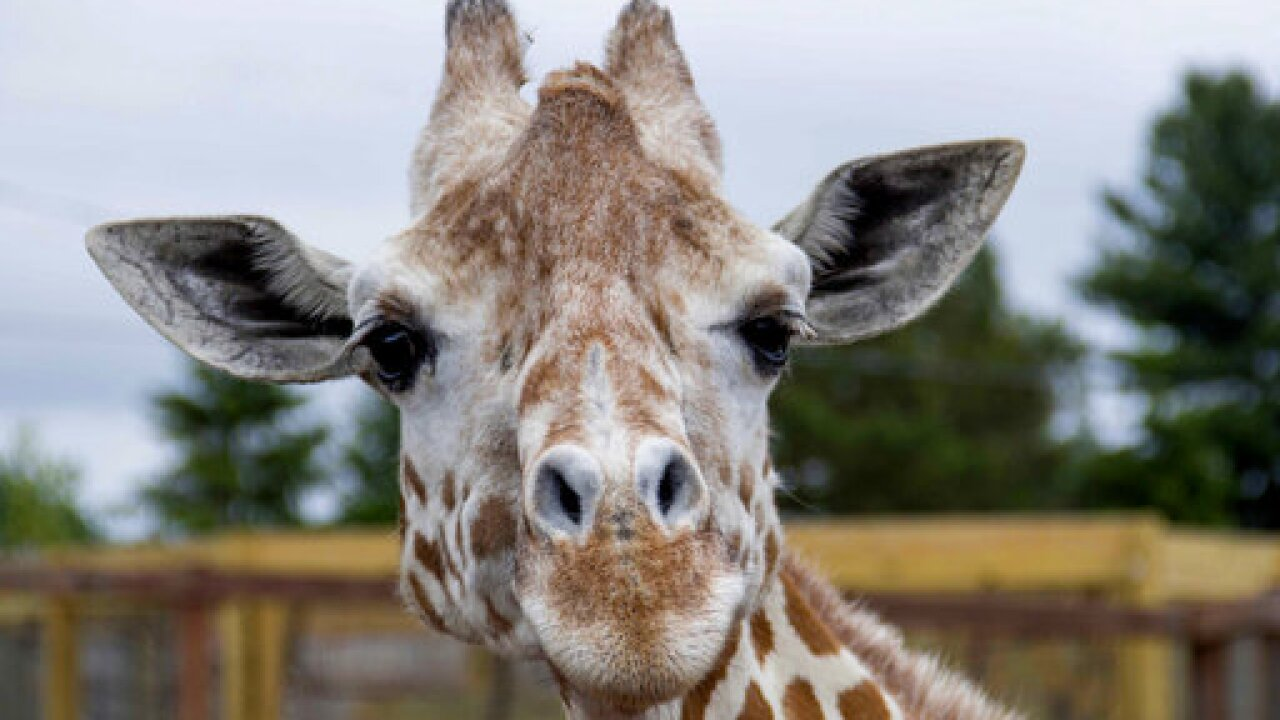 US--April the Giraffe
