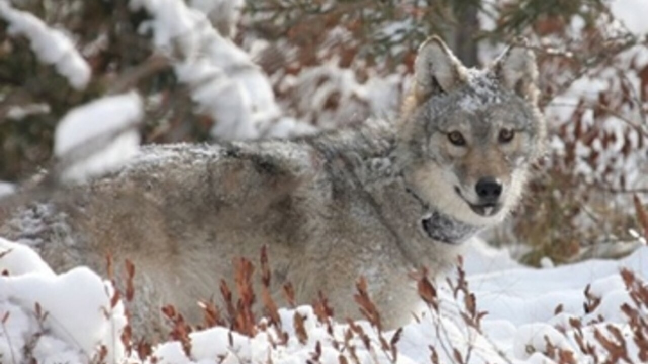 Wisconsin's wolf population stabilizing after decades of growth