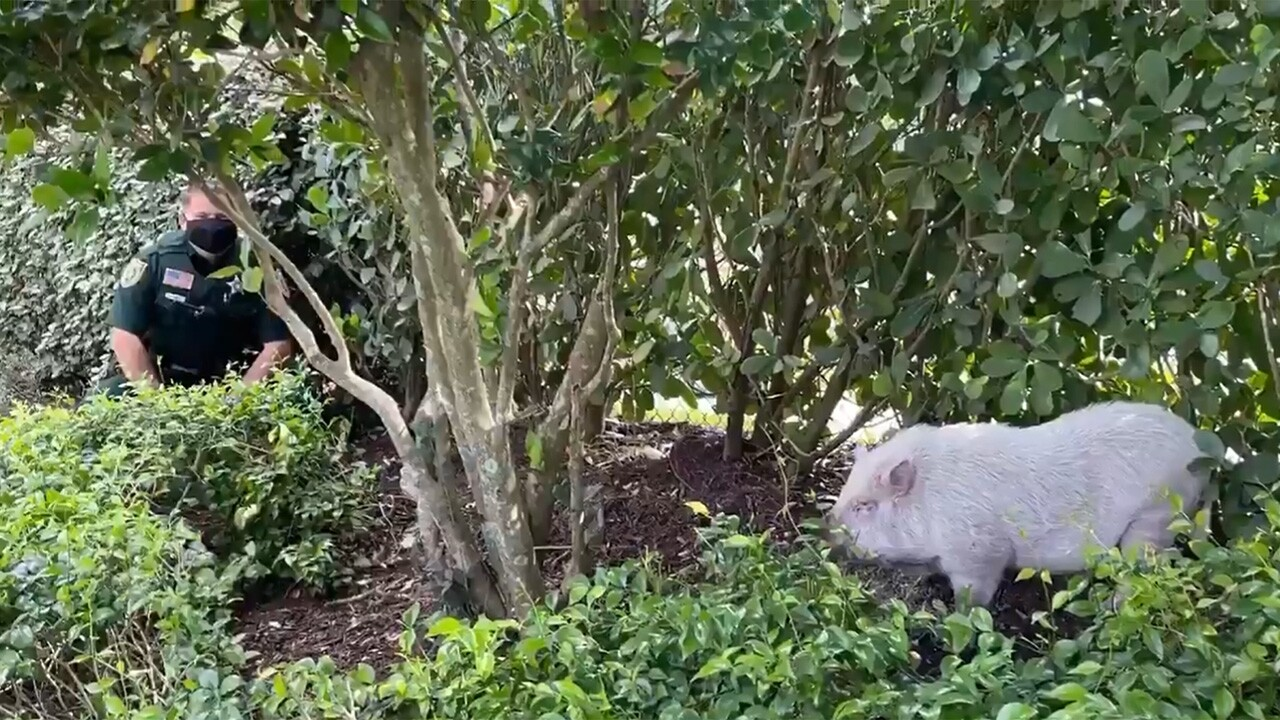 """The Palm Beach County Sheriff's Office tweeted photos Saturday of an """"adorable little piggy"""" they found near the Canyons community."""