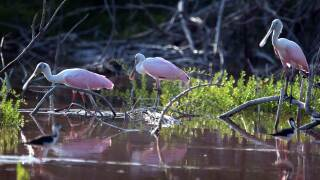 Roseate Spoonbills walk by the water in the Florida Everglades after the South Florida Water Management District announced it may reduce the size of the deal it had announced earlier in the year with U.S. Sugar on August 5, 2010 in the Everglades National Park, Florida. The original proposal, announced in 2008, was to buy all of the U.S. Sugar Corporations assets and use the land to replenish the Everglades, letting water from Lake Okeechobee run its natural route. The plan now because of state budget cut backs is to buy 26,800 acres and retain a 10-year option to buy the rest of the land. (Photo by Joe Raedle/Getty Images)