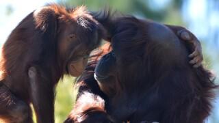 orangutanmomandjuvenile.jpg