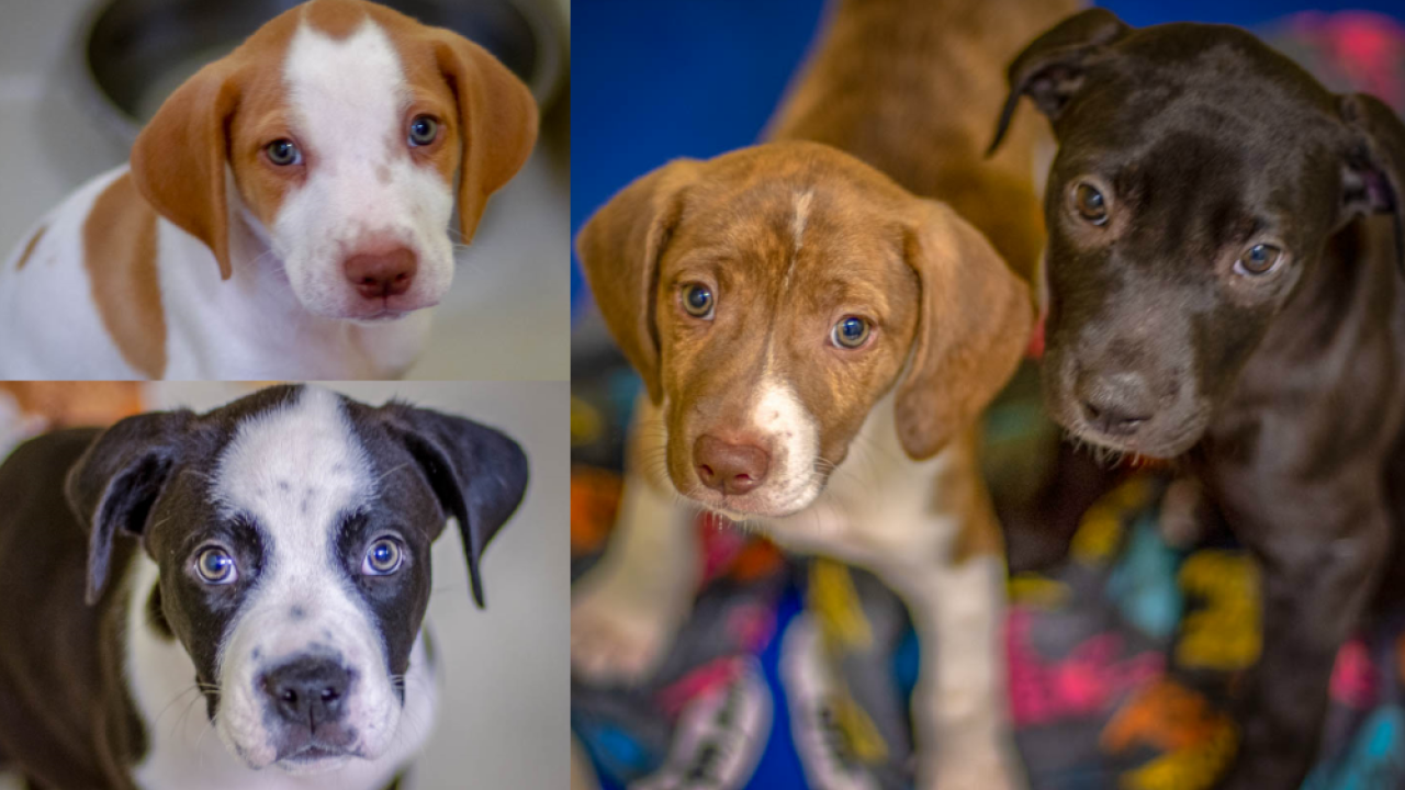 puppies for pet of the week