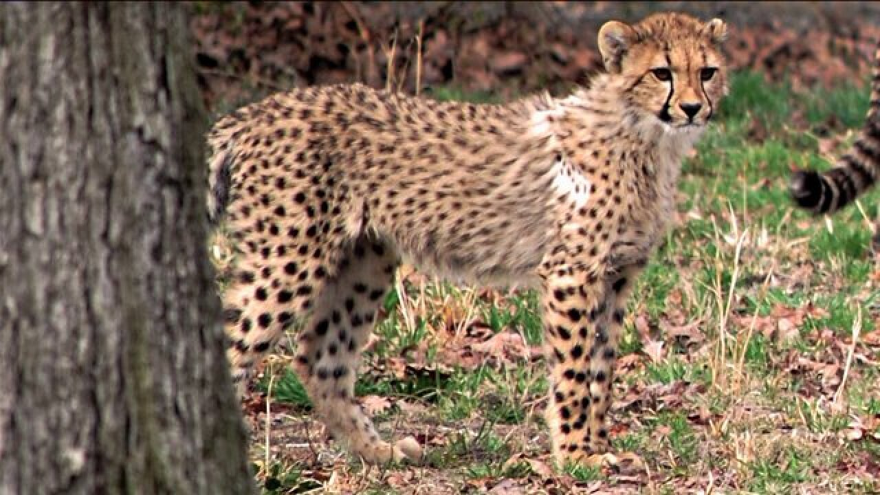 Young cheetah 'Hanna' may have died from bacterialinfection